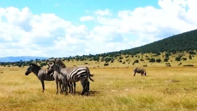 Zebras at a safari in Africa