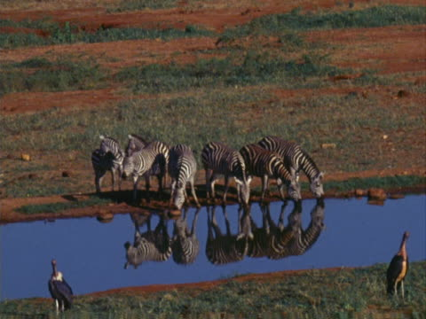 zebras at a water hole - großwild stock-videos und b-roll-filmmaterial