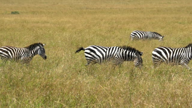 zebras at great migration - unesco world heritage site stock videos & royalty-free footage