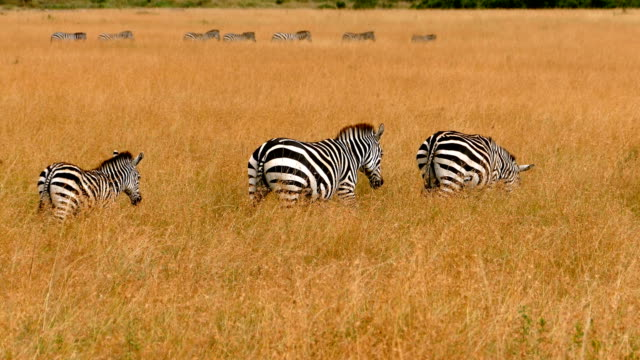 zebras at great wildebeest migration in kenya - africa stock videos & royalty-free footage