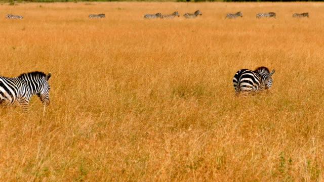 zebras im großen gnuwanderung in kenia - kenia stock-videos und b-roll-filmmaterial