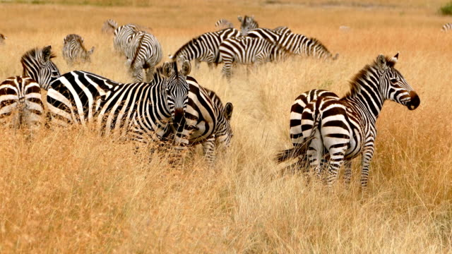 zebras at great wildebeest migration in kenya - wildlife stock videos & royalty-free footage