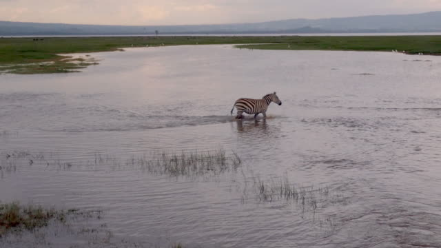 zebras cross water in lake nakuru, kenya - zebra crossing stock videos & royalty-free footage