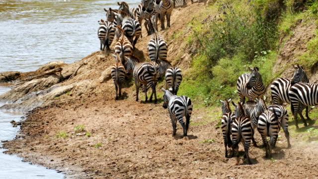 vidéos et rushes de zèbres traversant la rivière mara dans le masai mara - rive
