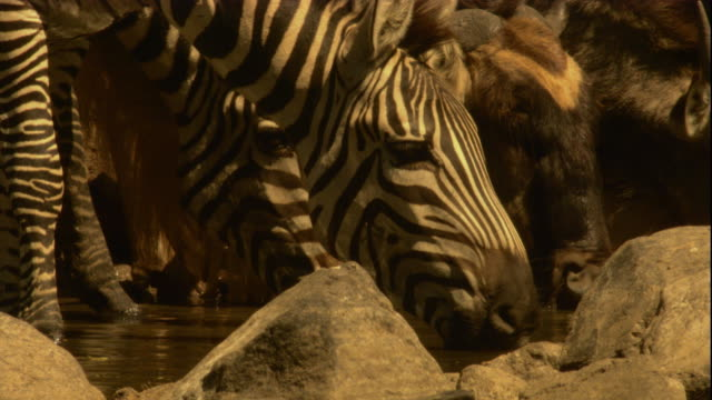 Zebras drink from a river then flee. Available in HD.