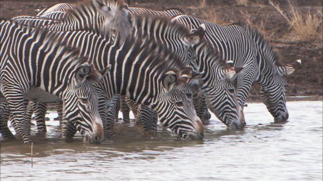 zebras drink water from a pond. - シマウマ点の映像素材/bロール