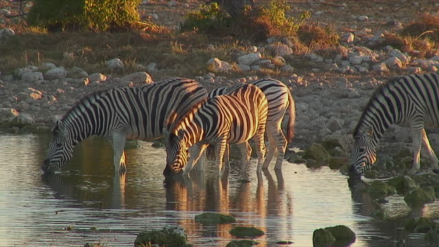 ls ws zo pan zebras drinking at waterhole / etosha national park, namibia - vier tiere stock-videos und b-roll-filmmaterial
