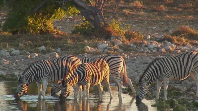 WS Zebras drinking at waterhole / Etosha National Park, Namibia