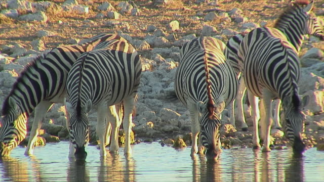 vídeos y material grabado en eventos de stock de ws zebras drinking at waterhole / etosha national park, namibia - cinco animales