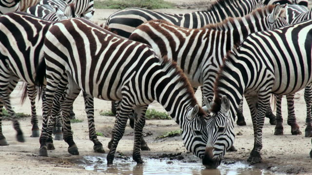 Zebras drinking from puddle in road during migration of wildebeest and zebra, Serengeti National Park, Tanzania