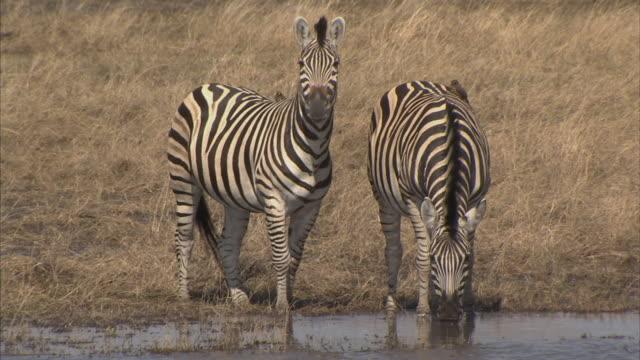 vídeos de stock, filmes e b-roll de ms, zebras (equidae family) drinking from waterhole, okavango delta, botswana - relação simbiótica