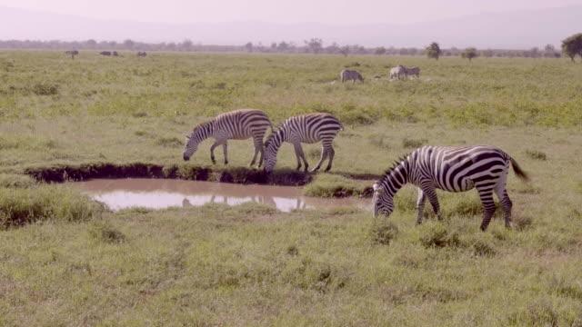 Zebras drinking in Lake Nakuru, Kenya