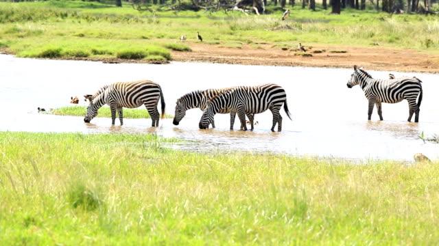 zebror dricker - ekoturism bildbanksvideor och videomaterial från bakom kulisserna