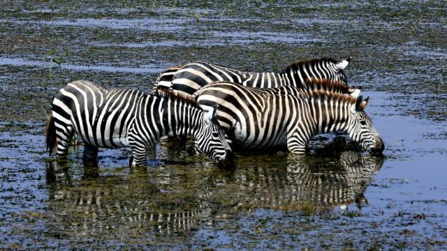 zebras drinking - safari animals stock videos & royalty-free footage