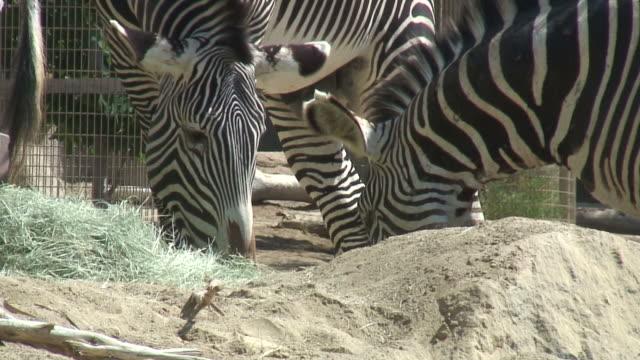 (hd1080i) zebras essen, nahaufnahme - zoo stock-videos und b-roll-filmmaterial