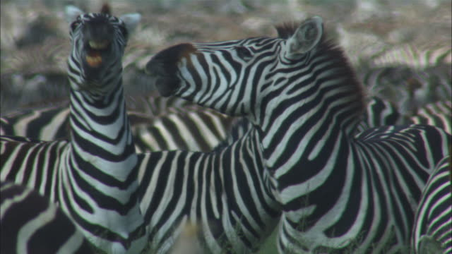 Zebras fight in densely packed herd