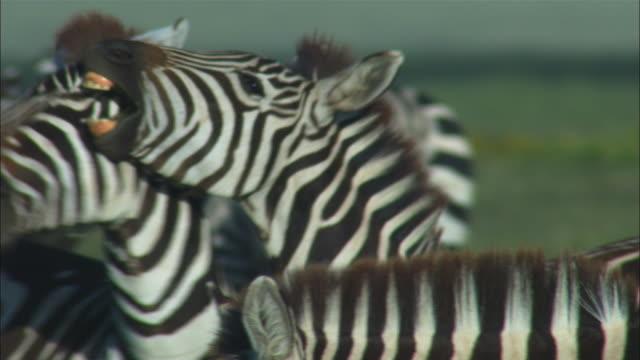 CU 2 zebras fighting in herd