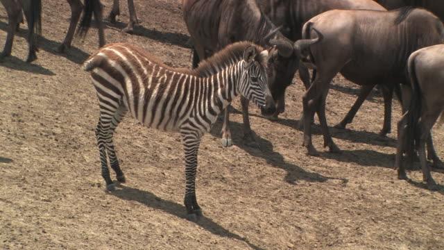 ms, zebras (equus burchellii) foal, wildebeests (connochaetes taurinus) in background, masai mara, kenya - 子馬点の映像素材/bロール