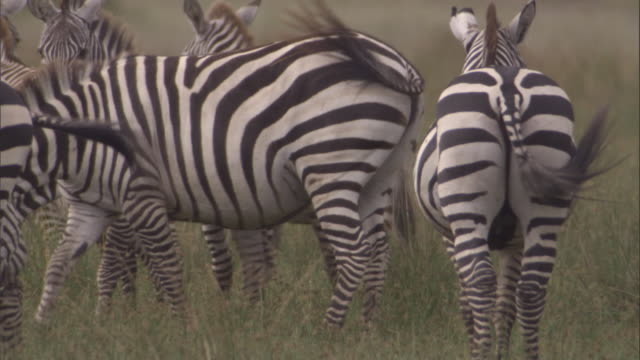 Zebras graze on savanna. Available in HD