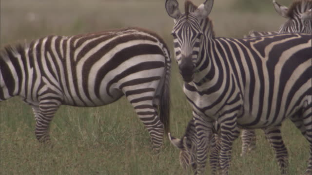 Zebras graze on savannah. Available in HD