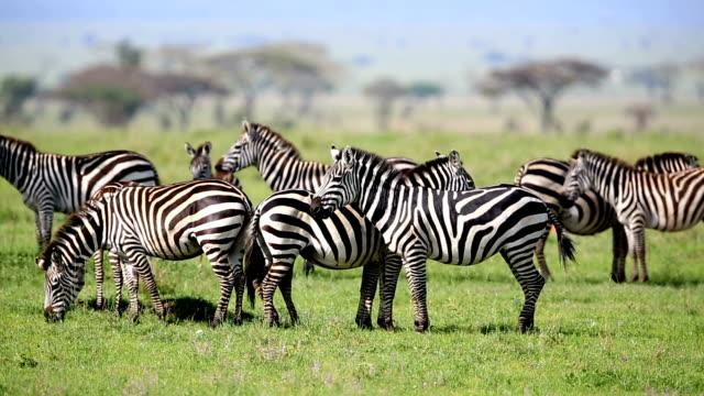 zebras grasen in savannah und beobachten - kenia stock-videos und b-roll-filmmaterial