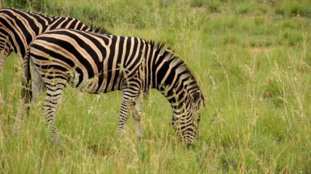 ms zebras grazing on open grassland / pilanesberg national park/ north west province/ south africa - national grassland stock videos & royalty-free footage