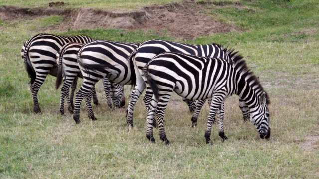 zebras grazing side by side - side by side stock videos & royalty-free footage
