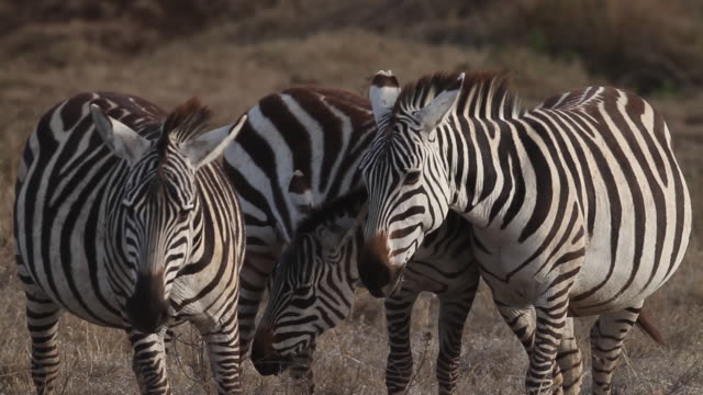 zebras in dry savanna 1 - audio available stock videos & royalty-free footage