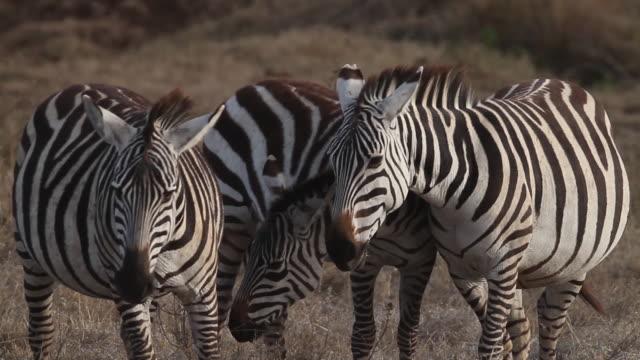 vídeos y material grabado en eventos de stock de zebras in dry savanna 1 - audio disponible