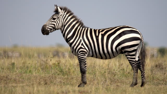 zebras in masai mara - one animal stock videos & royalty-free footage