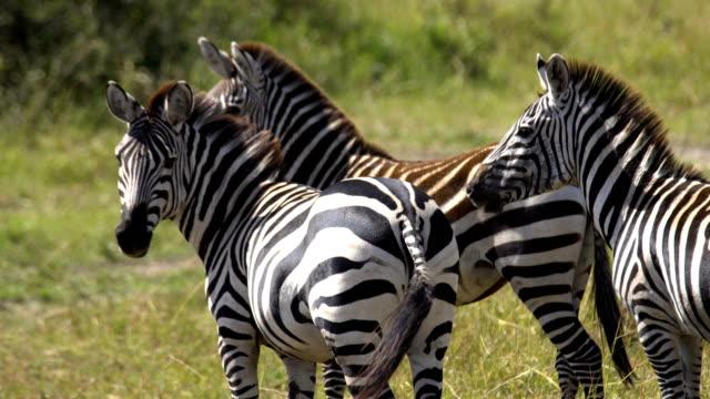 zebras in masai mara - シマウマ点の映像素材/bロール