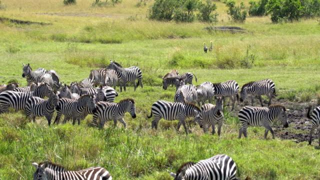 zebras in masai mara - eyal bartov stock videos and b-roll footage