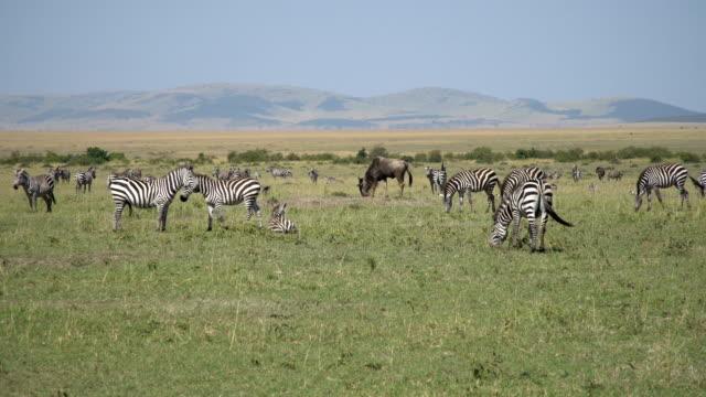 zebras in masai mara - herde stock-videos und b-roll-filmmaterial