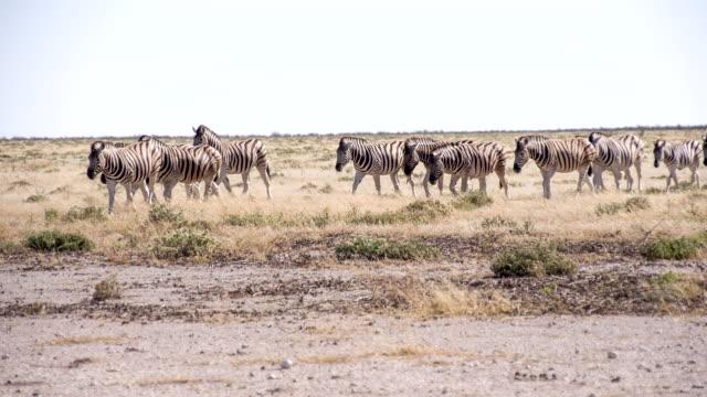ls zebras in the african savannah - safari animals stock videos & royalty-free footage