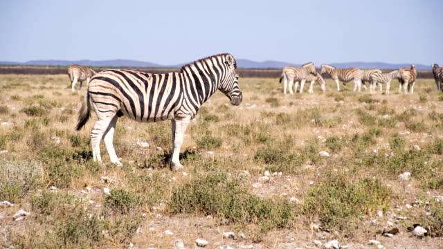 WS Zebras In The African Savannah
