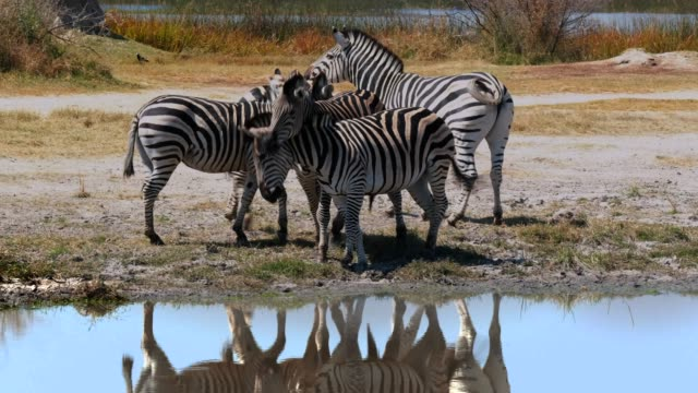 zebras in the wild - animal family stock videos and b-roll footage