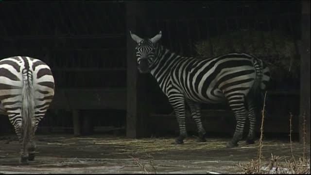 vidéos et rushes de zebras in zoo - mammifère ongulé