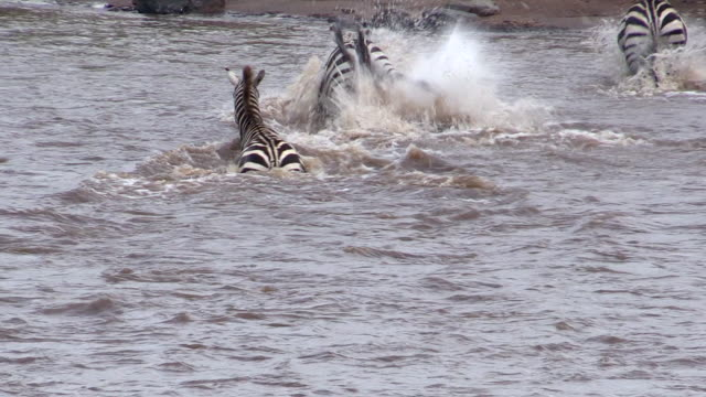 Zebras kick away Nile Crocodile in Mara River, Kenya
