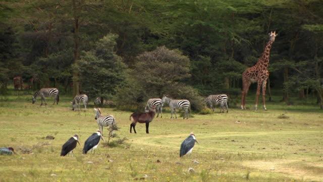 ms, zebras (equus burchellii), marabou stork (leptoptilos crumeniferus), giraffe (giraffa camelopardalis), warthog (phacochoerus africanus), waterbuck (kobus ellipsiprymnus) and impala (aepyceros melampus) in field, kenya - organismo vivente video stock e b–roll
