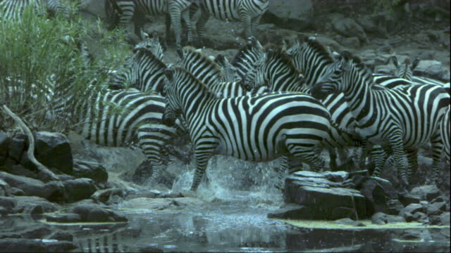 Zebras panic and flee from a riverbank in Tanzania. Available in HD.