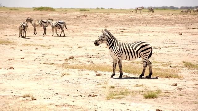 zebras spielen für sich paaren - zebra stock-videos und b-roll-filmmaterial