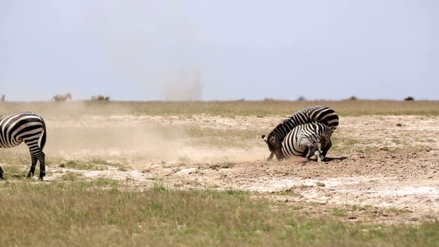 zebras playing for mating - animal behaviour stock videos & royalty-free footage
