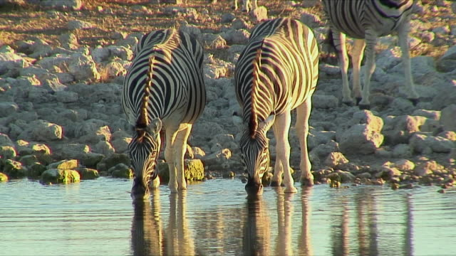 ws zebras quickly retreating in fear away from waterhole / etosha national park, namibia - 水場点の映像素材/bロール
