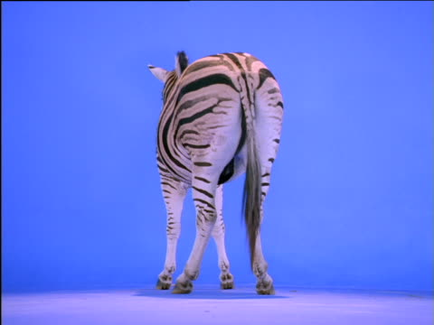 Zebra's rear end as it turns to the side