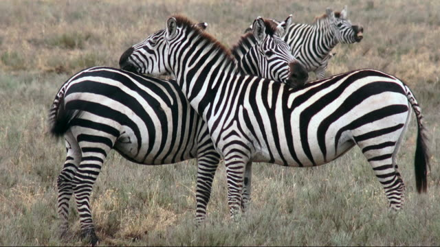 zebras rest heads on each others backs during migration of wildebeest and zebra, serengeti national park, tanzania - zebra stock-videos und b-roll-filmmaterial