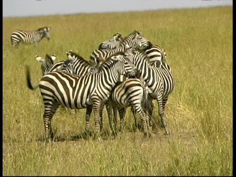 zebras resting close together in savannah grass, serengeti plains,  tanzania - animal markings stock videos & royalty-free footage