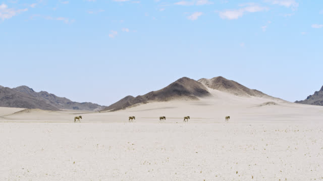 ws zebras roaming sunny desert,namibia,africa - cinque animali video stock e b–roll