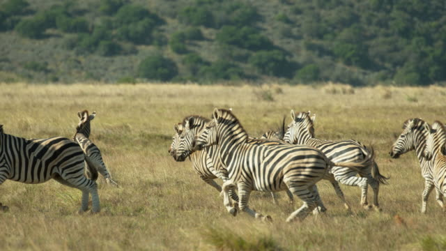 zebras running in slow motion - south africa - herde stock-videos und b-roll-filmmaterial