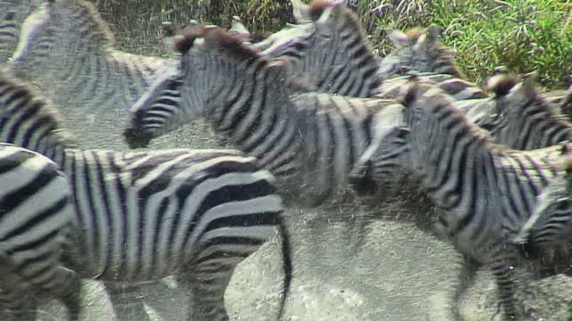 MS Zebras running out of water, Serengeti, Tanzania