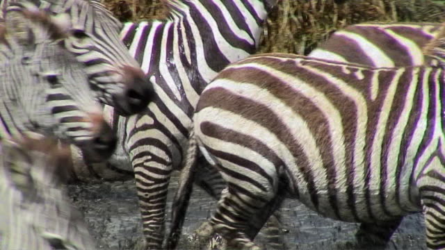 cu zebras running out of water, serengeti, tanzania - zebra stock-videos und b-roll-filmmaterial